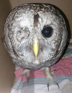 This owl was hit by a car and had to have its eye surgically removed. He was treated and released back into the wild.