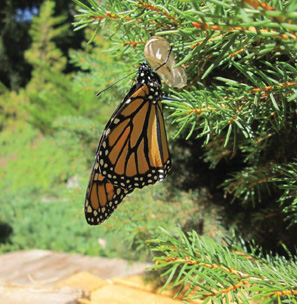 A monarch butterfly hangs from a chrysalis it may have emerged from. In Massachusetts, monarchs migrate south from mid-August through late September and early October.                                 Courtesy Lynn Dischler
